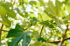 Fichi, piccoli frutti Fichi di maturazione sull'albero Fotografia Stock Libera da Diritti