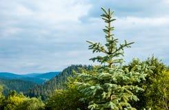 Fichte in den Bergen, bedeckt mit Wald stockbild