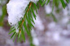 Fichte im Schnee Lizenzfreies Stockfoto