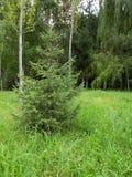 Fichte im Wald auf einer Lichtung Stockfotografie