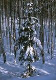 Fichte im Winterbirkenwald Lizenzfreies Stockfoto