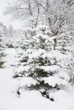 Fichte im Winterpark Lizenzfreie Stockfotos