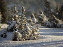 Fichte im Winterwald Stockfoto