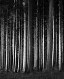 Fichte - vertikaler Wald - Holz - Schwarzweiss Lizenzfreie Stockbilder