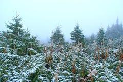 Fichten bedeckt mit Schnee Es schneit im Winterwald lizenzfreie stockfotografie