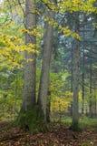 Fichten im herbstlichen Wald stockbild