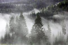 Fichten im Nebel stockfoto
