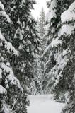 Fichten im Schnee stockbild