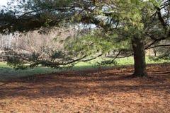 Fichten im Wald lizenzfreies stockfoto