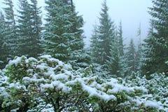 Fichten und Büsche des Wacholderbusches bedeckt mit Schnee Wilder Wald bedeckt durch Schnee stockfoto