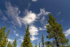 Fichten und Kiefern auf Schwedisch Lappland lizenzfreie stockfotos