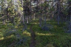 Fichten und Kiefern Nordland auf Schwedisch Lappland lizenzfreie stockfotos