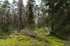 Fichten- und Kiefernwald stockbild