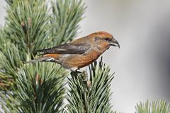 Loxia curvirostra, Common Crossbill. Fichtenkreuzschnabel, Loxia curvirostra, Common Crossbill royalty free stock image