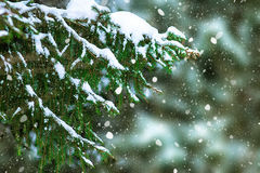 Fichtenzweig umfasst mit Schnee Stockfoto