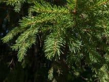 Fichtenzweige in einem Koniferenwald Lizenzfreies Stockbild