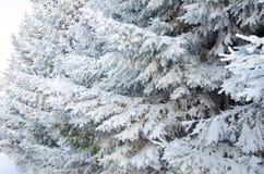 Fichtenzweige im Schnee Stockbild