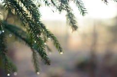 Fichtenzweige und die gefrorenen Tröpfchen Lizenzfreies Stockbild