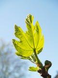 Fico-albero in primavera Fotografie Stock Libere da Diritti