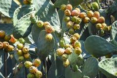 Fico d'India del cactus Fotografia Stock Libera da Diritti