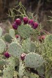 Fico d'india del Nopal (Nopalea) con i frutti rossi Fotografia Stock Libera da Diritti