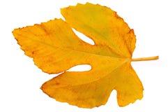 Fico leaf_2 Immagine Stock Libera da Diritti