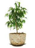 Fico piangente (Ficus Benjamina) in POT Immagine Stock