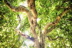 Fico in vegetazione Fotografia Stock