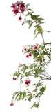 Ficsia, geïsoleerde bloem, Royalty-vrije Stock Fotografie