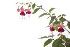 Ficsia, geïsoleerde bloem, Stock Foto's