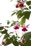 Ficsia, geïsoleerde bloem, Stock Afbeelding