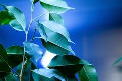 Ficus à la maison d'usine avec les feuilles vertes Photographie stock