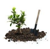 Ficus με το χώμα και το φτυάρι Στοκ Φωτογραφίες