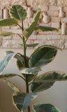 Ficus λουλουδιών στον πίνακα στο άσπρο δωμάτιο Στοκ εικόνες με δικαίωμα ελεύθερης χρήσης
