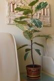 Ficus λουλουδιών στον πίνακα στο άσπρο δωμάτιο Στοκ Εικόνα
