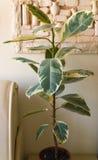 Ficus λουλουδιών στον πίνακα στο άσπρο δωμάτιο Στοκ Εικόνες