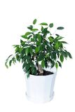 Ficus. On a white background. (isolated Royalty Free Stock Image