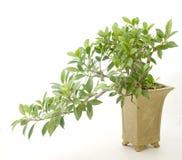 Ficus Immagini Stock Libere da Diritti