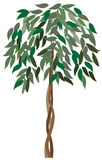 Ficus. Tree isolated on white Royalty Free Stock Image