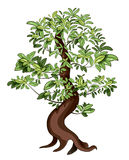 Ficus. Vector illustration of japan decorative ficus Bonsai Royalty Free Stock Photos
