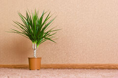 Ficus. Green home plant ficus in flowerpot. Interior background Royalty Free Stock Photos