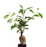 Ficus Stock Photos