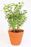 Ficus. S in the brown pot Royalty Free Stock Image