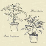 Ficus. Flowers in pots, hand drawn sketches Royalty Free Stock Photo