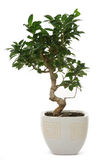 Ficus Stock Photo