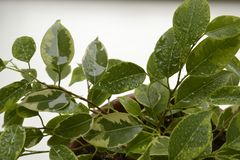 ficus Images stock