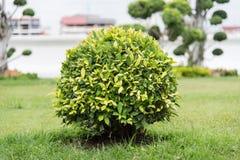 Ficus altissima tree Stock Image