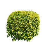Ficus altissima tree. Isolated on white background for park or garden decorative with clipping path, bush or shrub trimming stock photo