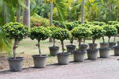 Ficus annulata karzeł w garnku zdjęcia stock