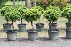 Ficus annulata karzeł w garnku obraz royalty free